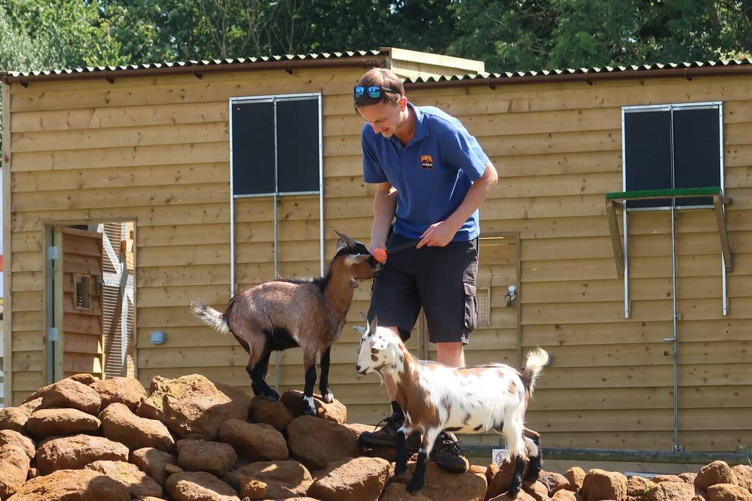 Two African pygmy goats stand on rocks at the legs of their keeper, who is holing a small tennis ball on a stick.