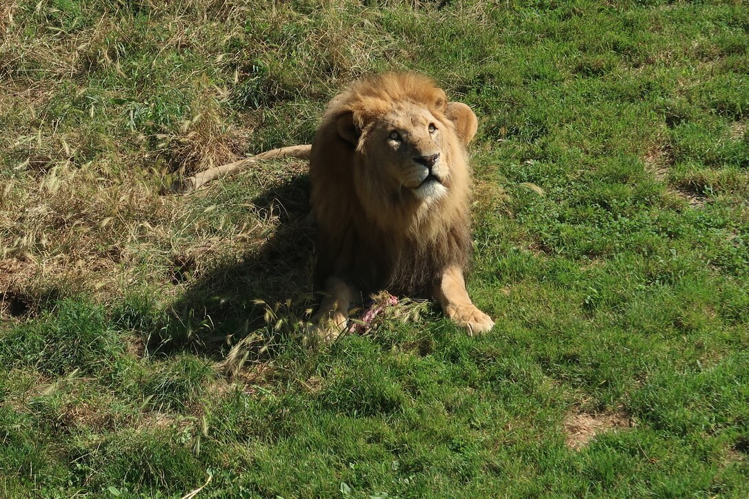 A male lion looks up with raw ribs at his feet.