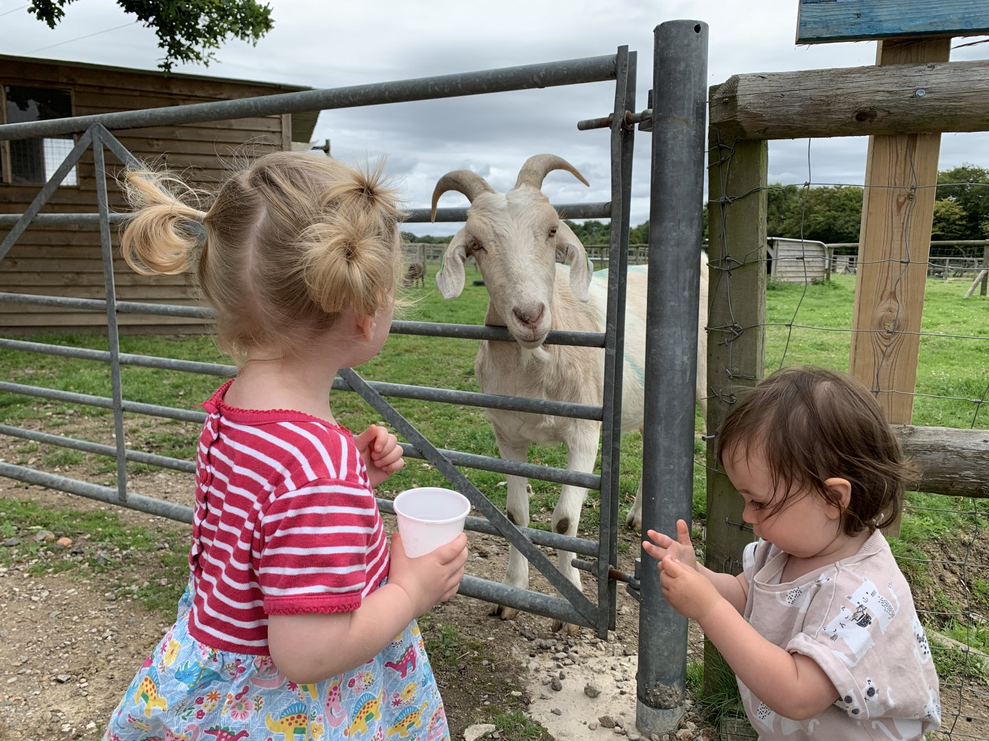 A white goat pokes his head through a gate to get to the animal feed that M and B are holding.