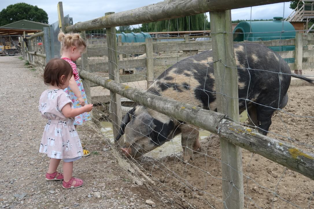 B and M feeding a large spotty pig.