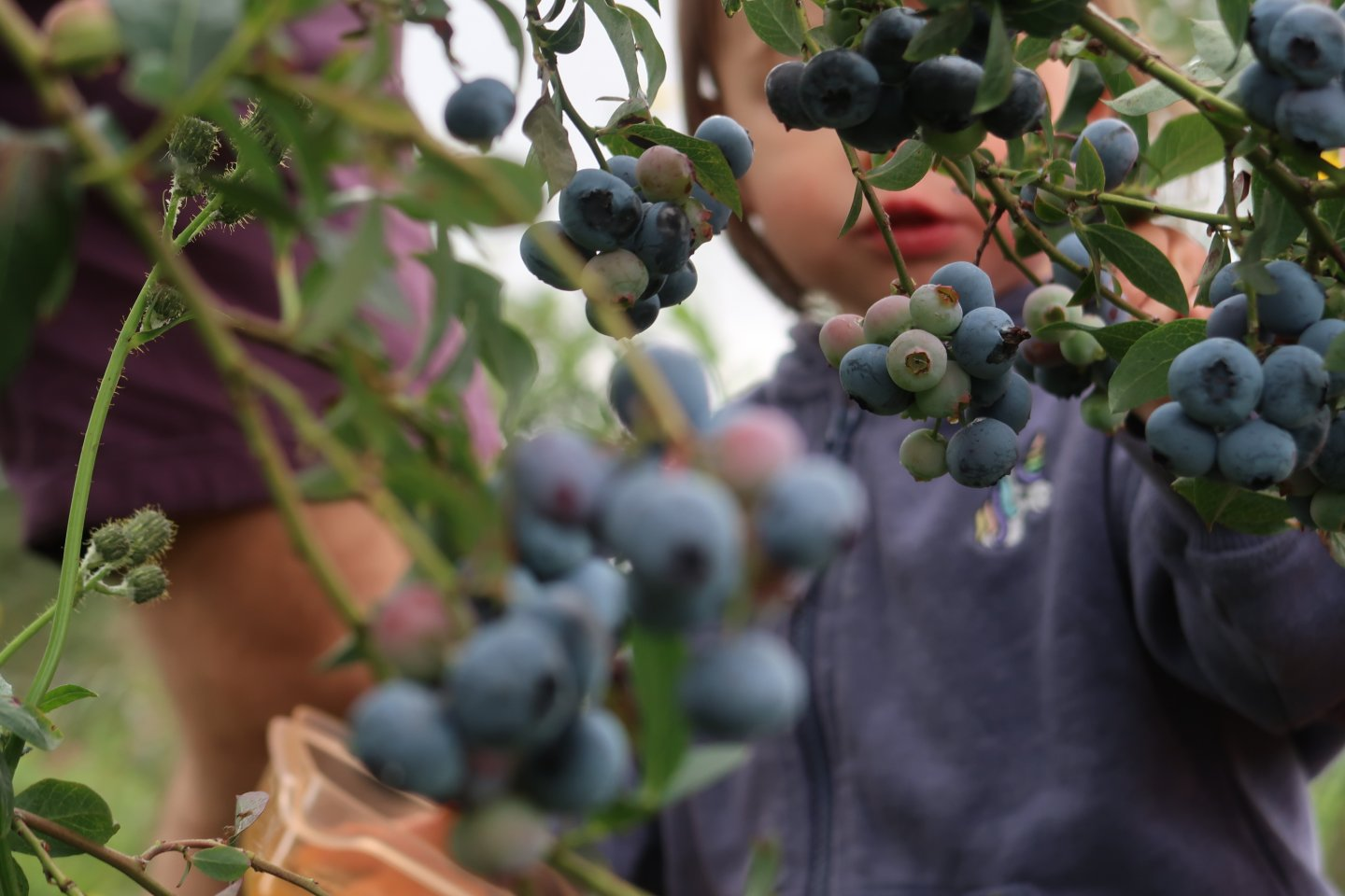 A close up of blueberries on the bush, with an out of focus B picking fruit in the background.