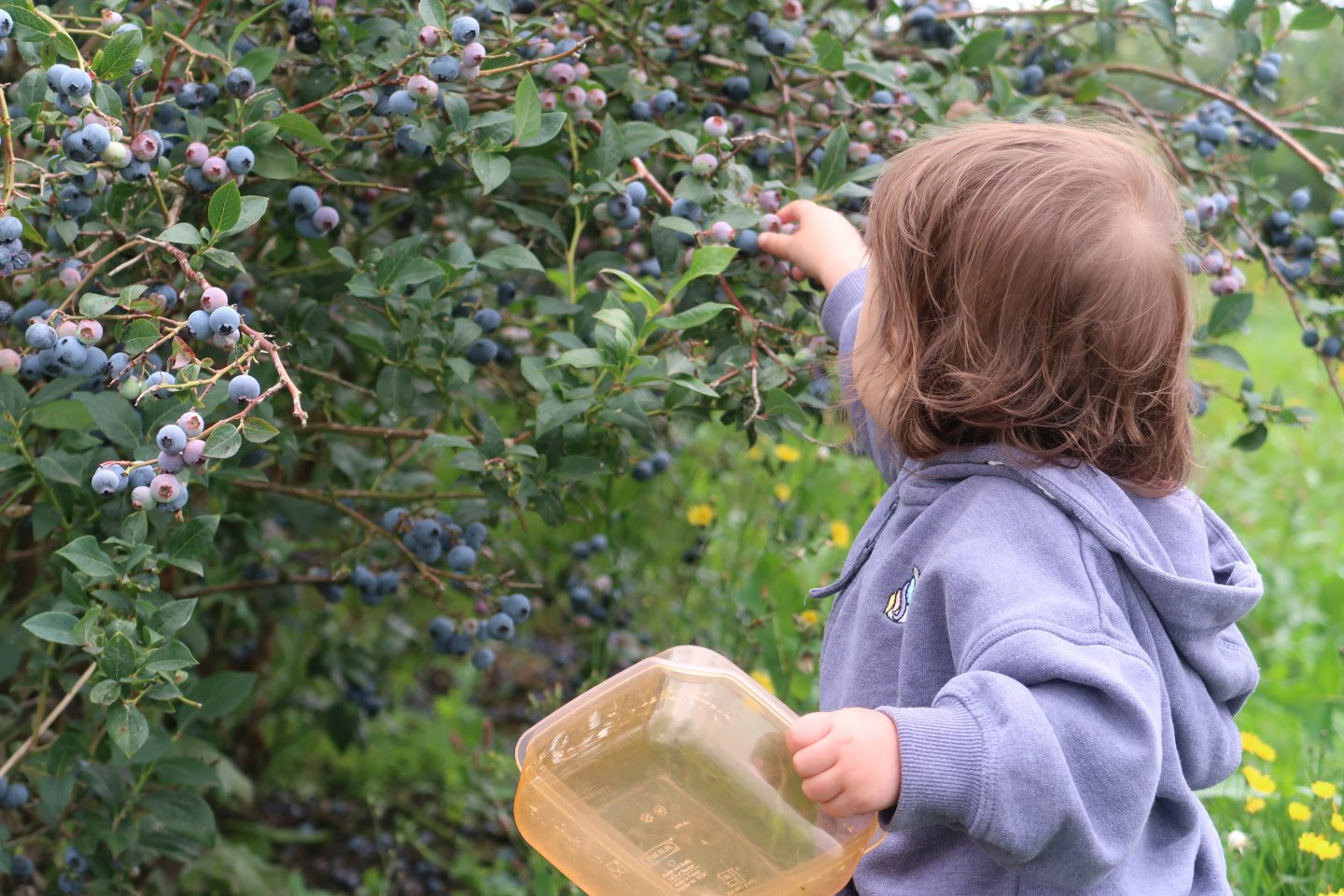 B with her back to the camera, blueberry picking at Fairgreen Farms, Norfolk.