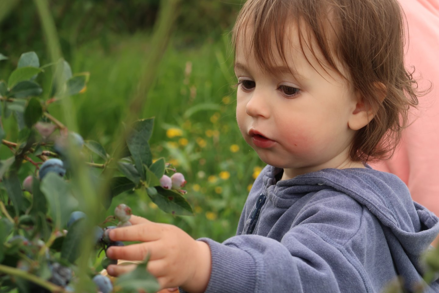 B picking blueberries from the bush at Fairgreen Farms, King's Lynn.