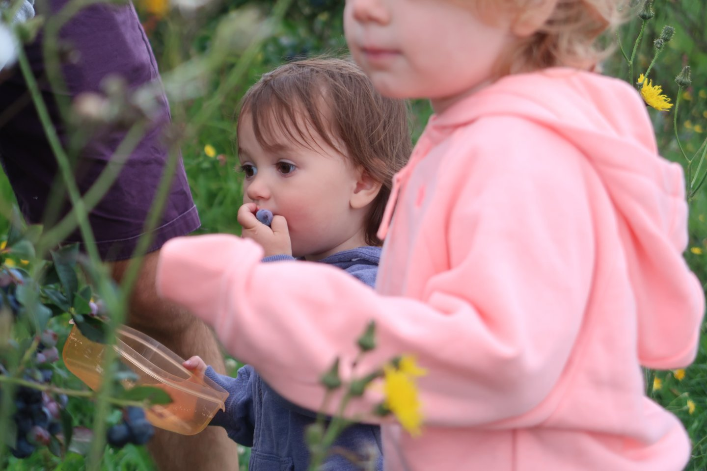 M picking blueberries in the foreground, with B stuffing blueberries into her mouth, in the background.