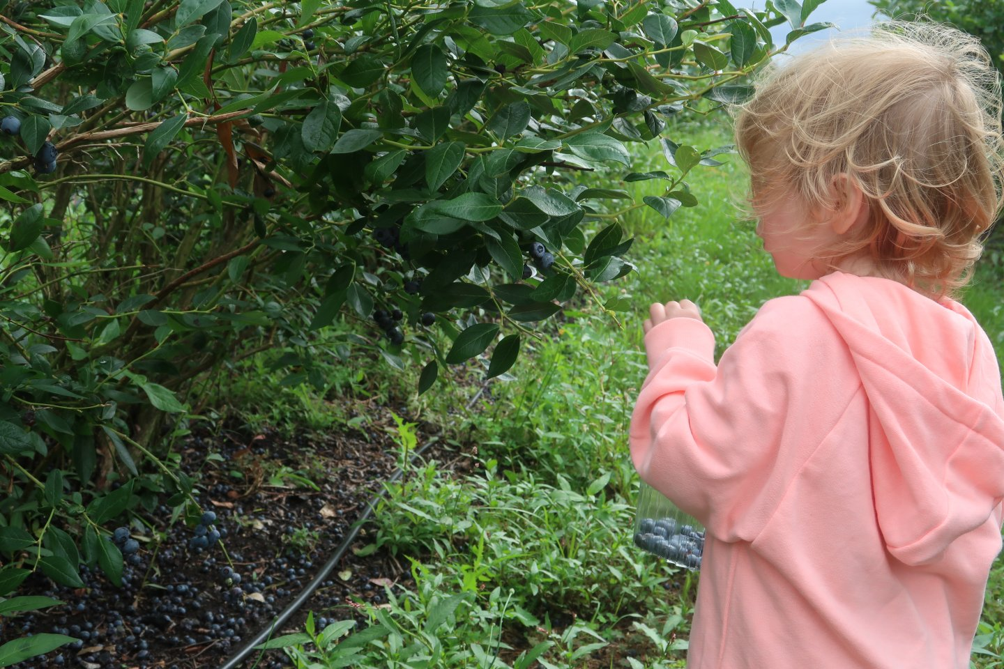M, our three year old daughter, picks blueberries from a bush, with her back to the camera.