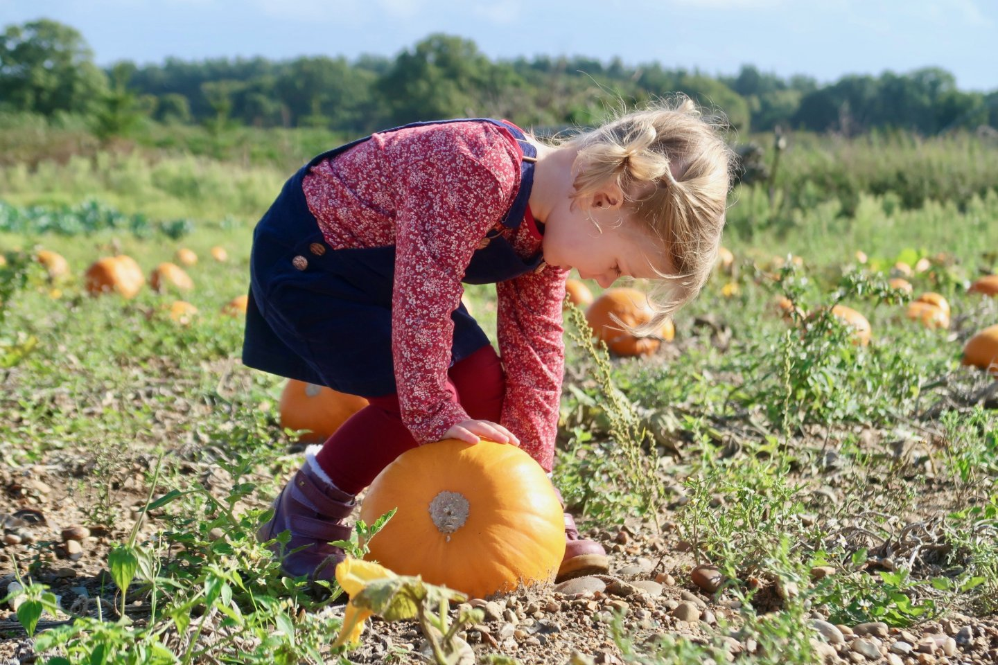 M bending down to look at a pumpkin at the pumpkin patch, Norfolk.